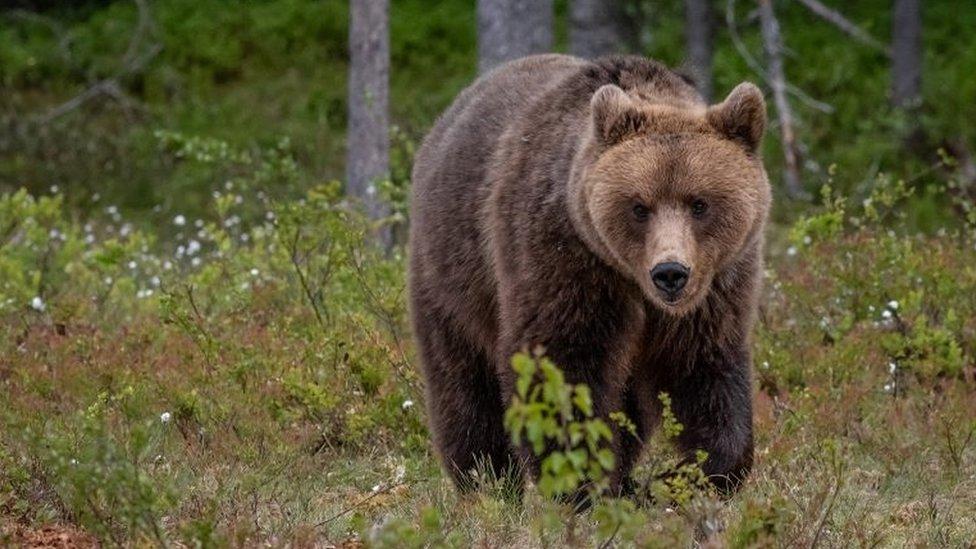 İtalya'da 'kaçış ustası' ayıya destek yağıyor: 'Bırakın, özgür olsun'