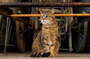 Ayasofya'nın kedisi Gli veterinerde