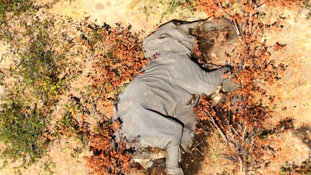 Botsvana'da iki ay içerisinde 350 fil gizemli bir şekilde öldü