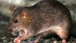 İngiltere'de koronavirüs salgınında sıçanlar yavrularını yemeye ve evlere girmeye başladı