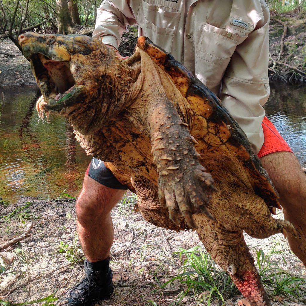 Dünyanın en büyük timsah kapan kaplumbağası yakalandı