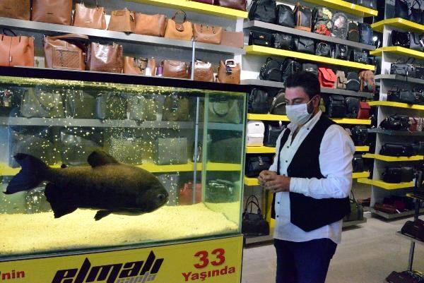 33 yaşındaki pirana, Guinness Rekorlar Kitabı'na girmeye hazırlanıyor