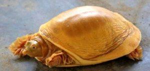 Altın renkli kaplumbağa Nepal'in yeni gözdesi