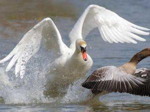 Kuğular neden saldırgan davranıyor?