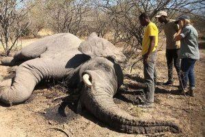 Gizemli hastalıktan ölen fillerin sayısı 34'e yükseldi