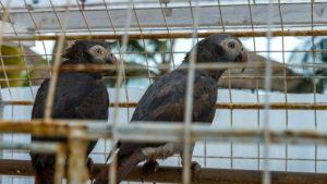 İngiltere'de hayvanat bahçesinde, birbirlerine küfür eden beş papağan farklı bölümlere konuldu