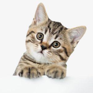 Bilim insanları açıkladı: Kedilerle iyi anlaşma yolunu bulduk