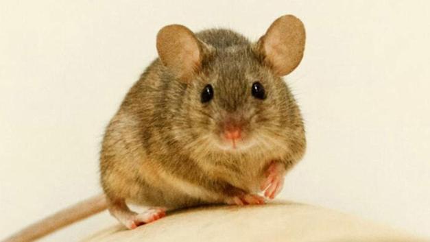 İsrail'de koronavirüsten sonra fare paniği: 50 kişiye bulaştı!