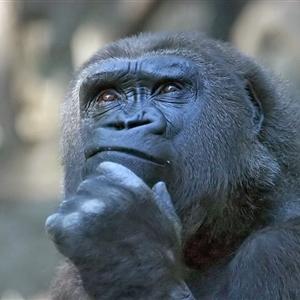 Bilim insanları maymun beynini büyütmeyi başardı