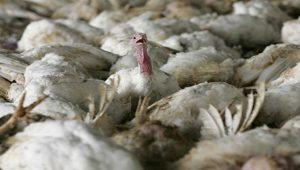 Fransa'da 'kuş gribi' paniği başladı
