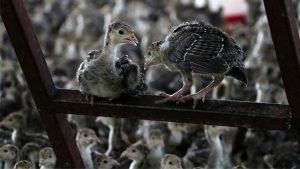 Koronadan sonra şimdi de kuş gribi salgını patlak verdi: İngiltere'de 10 binden fazla hindi itlaf edilecek