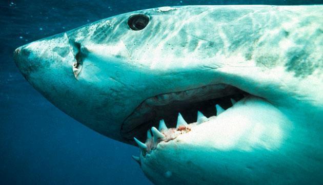 Avustralyalı dalgıç köpekbalığına yem olmaktan son anda kurtuldu