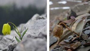Nadir bitki türü kendisini insanlardan korumak için kamuflaj geliştirdi