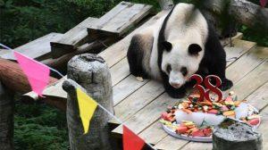 Dünya'nın en yaşlı pandası hayatını kaybetti
