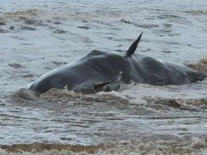 İngiltere'de kıyıya vuran dev balinaları paniğe neden oldu