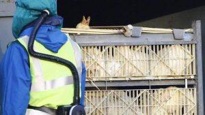 """İngiltere'de yüksek derecede bulaşıcı """"kuş gribi"""" salgını"""