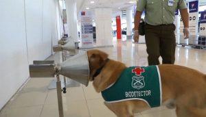 Corona köpekleri iş başında (1 saatte 250 test yapabiliyorlar)
