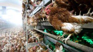 Polonya'da kuş gribi nedeniyle 1 milyona yakın tavuk itlaf edildi