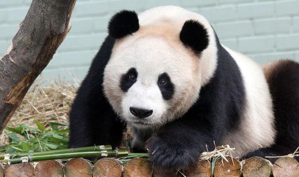 Ekonomik sıkıntı yaşayan Edinburgh Hayvanat Bahçesi iki pandayı Çin'e geri gönderebilir