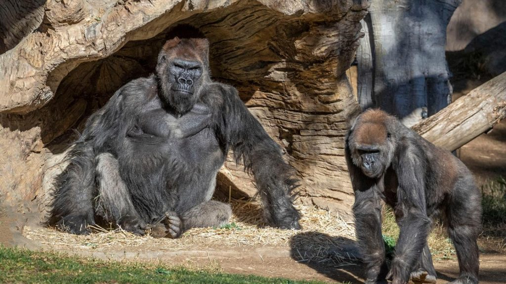 Gorillerde koronavirüse rastlandı