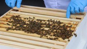 Uyuşturucu ile mücadele için bal arılarını kullanacak