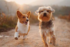 Köpeklerin evcilleştirilmesi 29 bin yıl öncesine dayanıyor