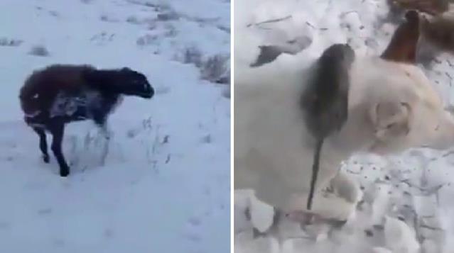 -51 derecede ısınmak isteyen fare köpeğin boynunda dondu