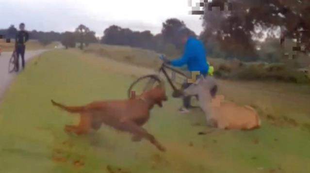 Sahibinin elinden kaçan köpek koruma altındaki geyiği öldürdü