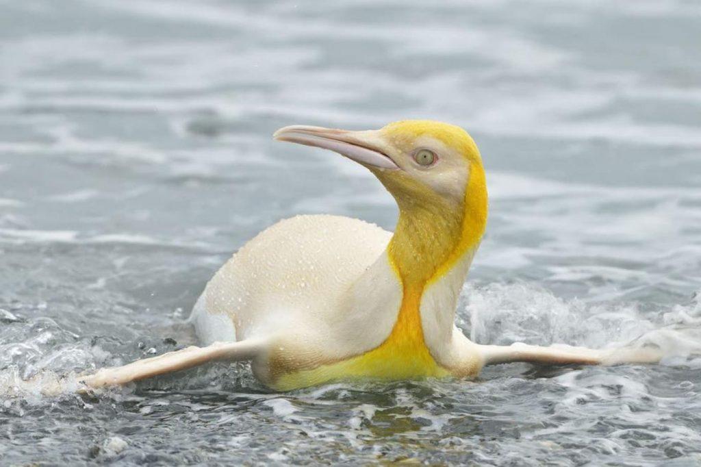 """""""İlk kez"""" sarı penguen görüldü"""