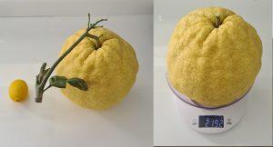 KKTC'de dev limon hayrete düşürdü