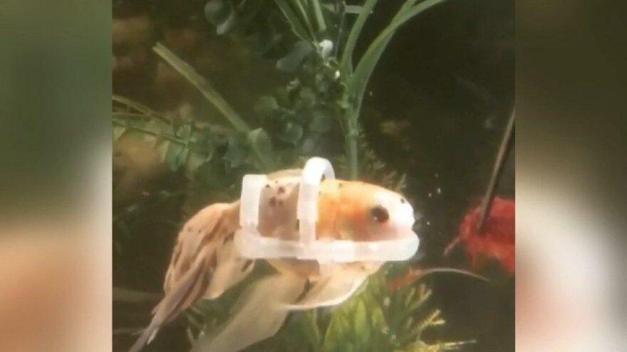 Yüzemeyen balığa can yeleği yapıldı