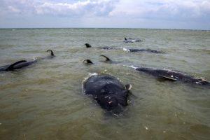 Endonezya'da 45 pilot balina kıyıya vurdu