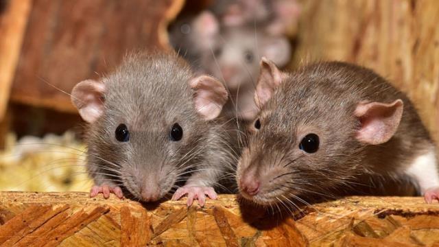 Odasındaki fareyi öldürmeyen kocasının cinsel organını ısırdı