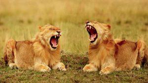 Aslan sürüleri esneyerek birbirlerini avlanmaya çağırıyor