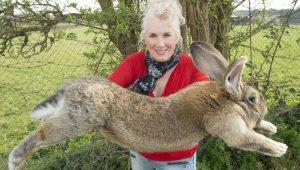 İngiltere'de dünyanın en büyük tavşanı kaçırıldı