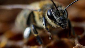 Bilim insanları coronayı tespit etmek için arıları eğitti
