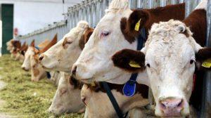 Hindistan'daki sığırlar, kaçak içki saklayan çiftçileri yakalattı