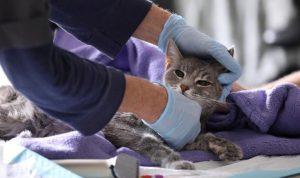 İngiltere'de gizemli kedi hastalığı:  Zehirli mamadan şüpheleniliyor